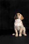 Hundefotografie-Tierfotos-Tierfotografie-Welpe-Sookie