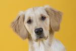 Golden Retriever-Shooting-Tierfoto