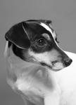 Jack Russel - Tierfotograf - Halle Saale - Gottstein Photographie