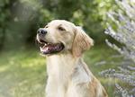 Sookoe-Golden Retriever - Hundefotografie Halle