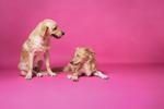 Sookie und Rosa - Hundefotografie - Golden Retriever