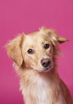 Rosa - Hundefotografie - Golden Retriever - Halle